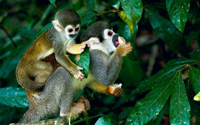 Die süßen Totenkopfäffchen fühlen sich im Amazonas wohl.