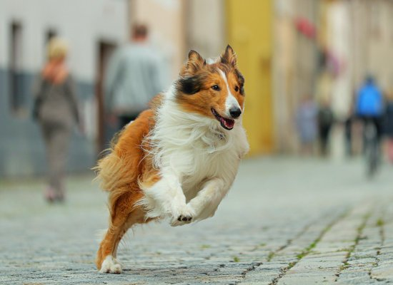 What do you know about Lassie?