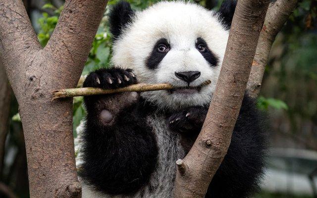 Als Symbol des WWF hat der Große Panda weltweite Bekanntheit erlangt. Auch er ist gefährdet, aber es gibt wieder mehr Tiere! Die Naturschützer helfen seit 40 Jahren mit, dass die Pandas nicht aussterben.
