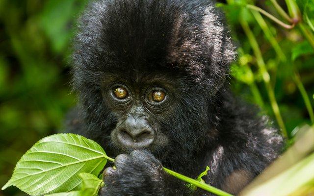 Wild lebende Gorillas finden sich fast ausschließlich nur noch in geschützten Nationalparks in Afrika.