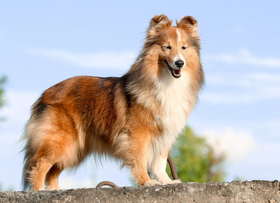 Listening Exercise: Forever Lassie