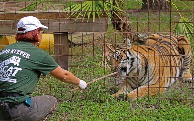 Eine Tierwärterin kümmert sich um einen Tiger im Big Cat Rescue (Großkatzen-Rettung) in Florida. Das ist ein Zufluchtsort für exotische Tiere, die privat und illegal gehalten wurden.